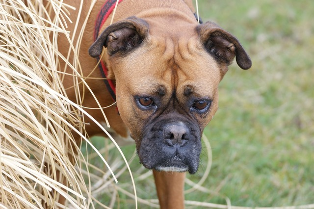Dog boxer autumn, animals.