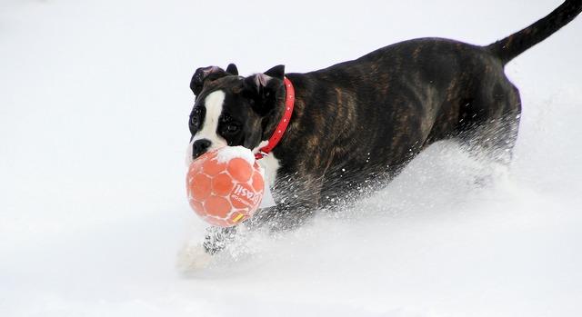 Dog boxer black and white, animals.