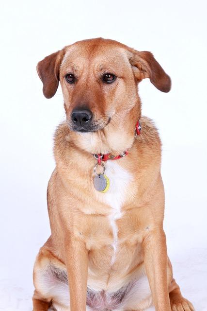 Dog brown pet, animals.