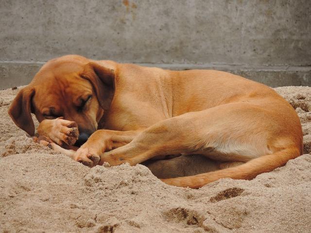 Dog brown sleeping, animals.