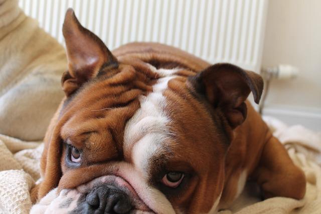 Dog bulldog british, animals.