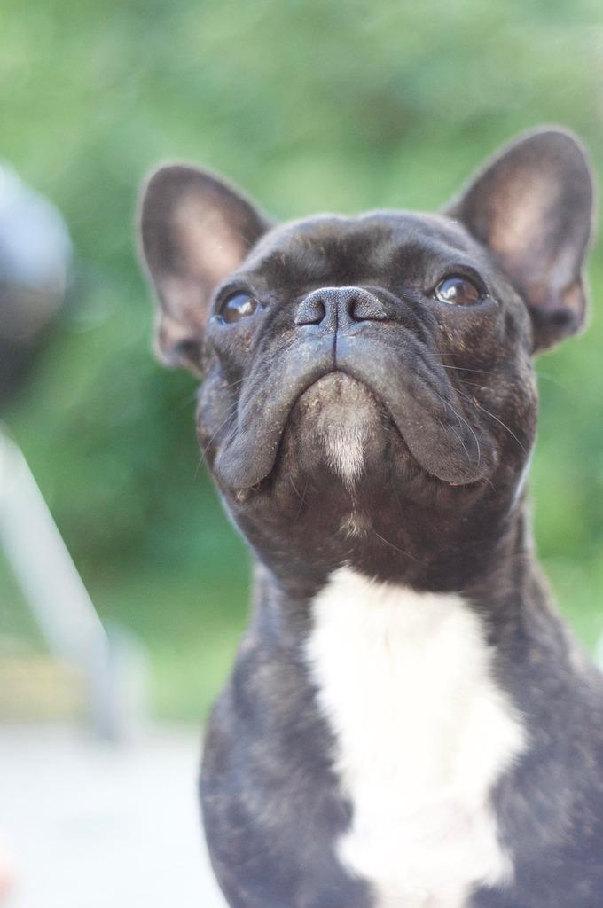 Dog bulldog french bulldog, animals.