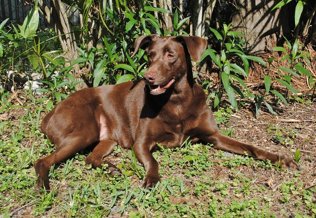 Dog canine brown fur, animals.