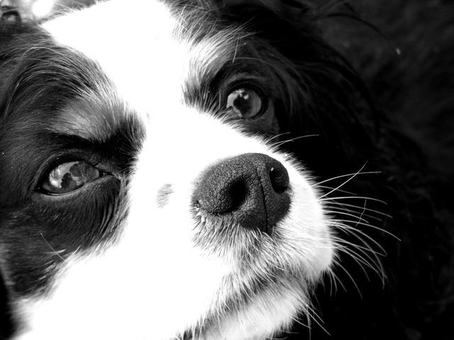 Dog canine spaniel, animals.