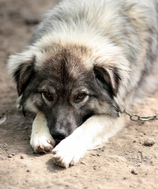 Dog chain sadness, animals.