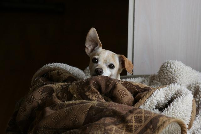 Dog chihuahua doggy, animals.