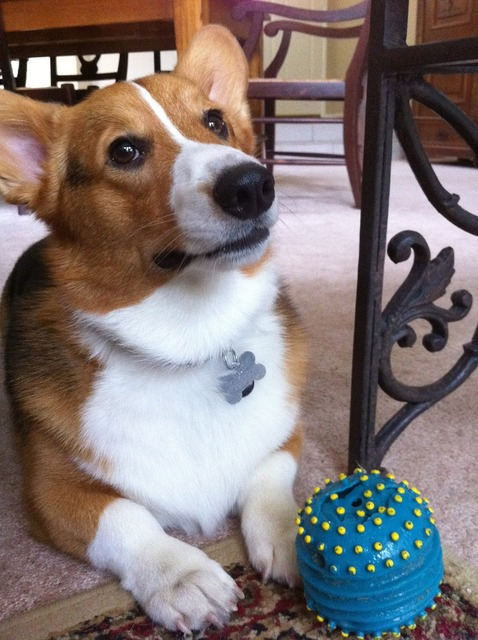 Dog corgi pet, animals.