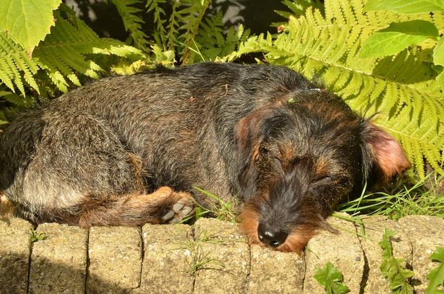Dog dachshund pet, animals.