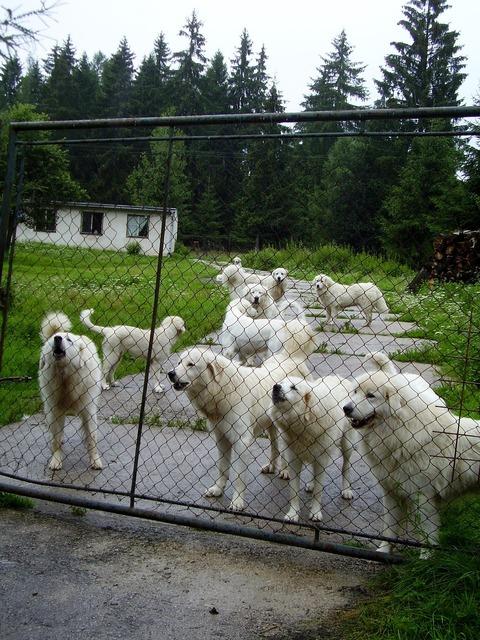 Dog dogs fence, animals.