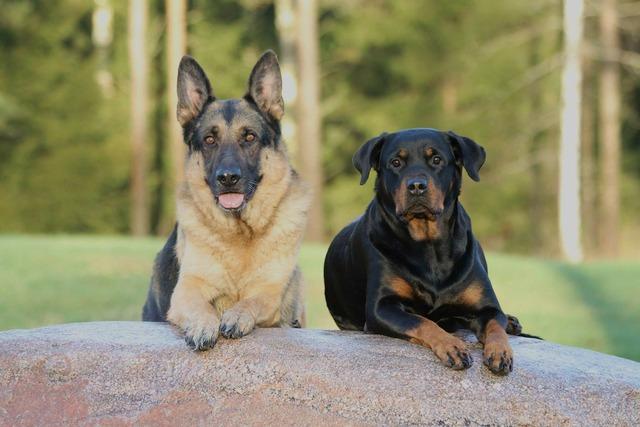 Dog dogs rottweiler, animals.