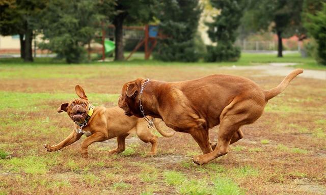 Dog dogue de bordeaux dogs, animals.