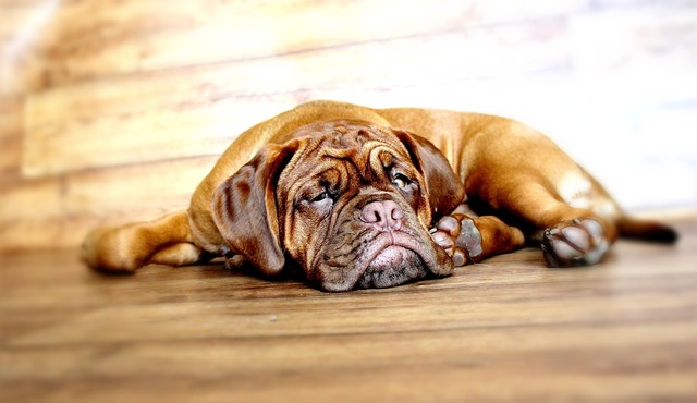 Dog dogue de bordeaux mastiff, animals.