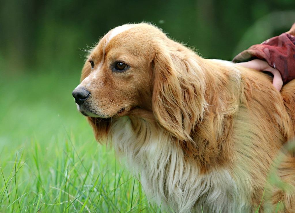 Dog ears hunting, animals.