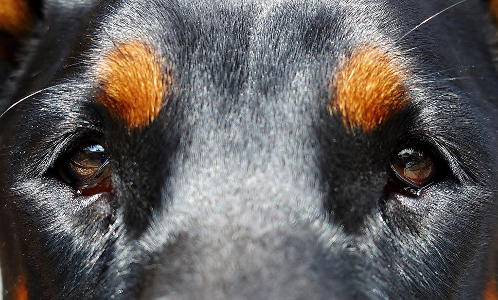 Dog eyes doberman, animals.