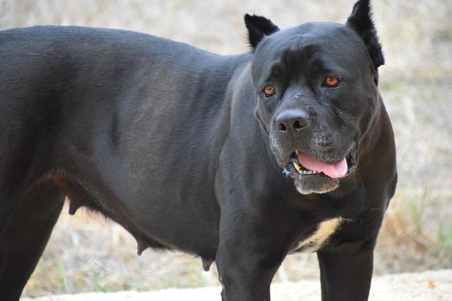 Dog fighting dog pitbull, animals.