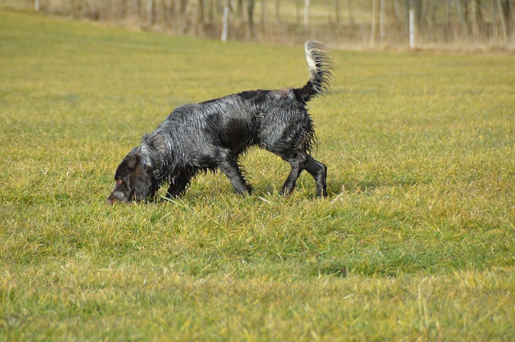 Dog german quail quail dog, animals.
