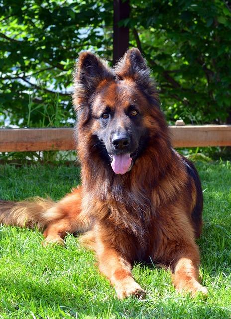 Dog german shepherd guards, animals.