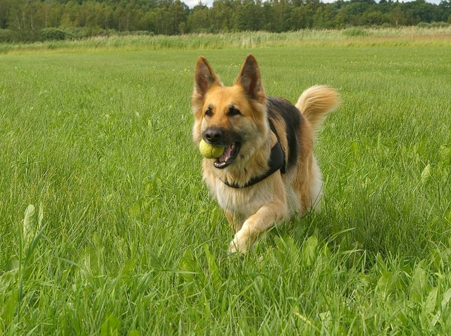 Dog german shepherd retrieving, animals.