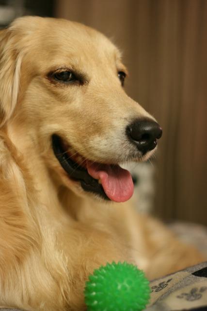 Dog gold liè dogs pet, animals.