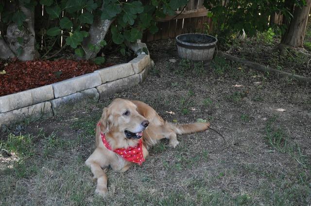 Dog golden retriever, animals.