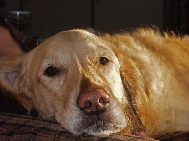 Dog golden retriever sweet, animals.