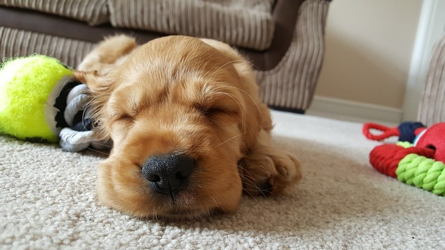 Dog golden sleep, animals.
