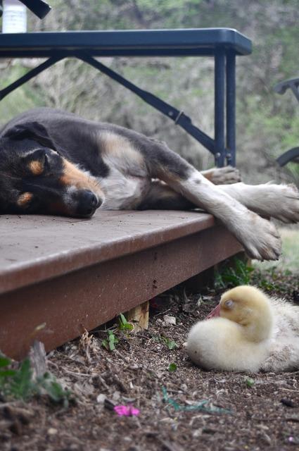 Dog gosling goose, animals.