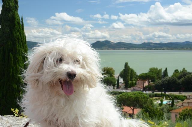 Dog hairy white, animals.