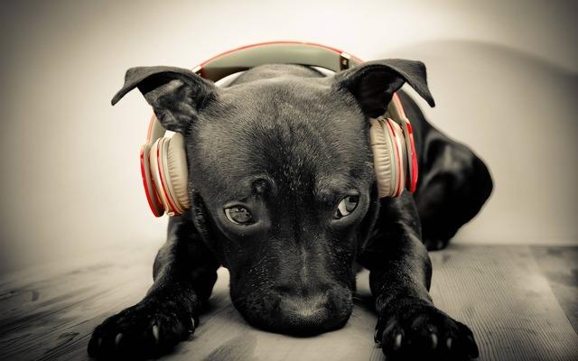 Dog headphones music, animals.
