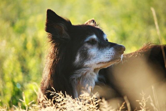 Dog herding dog border, animals.