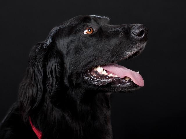 Dog hovawart black, animals.