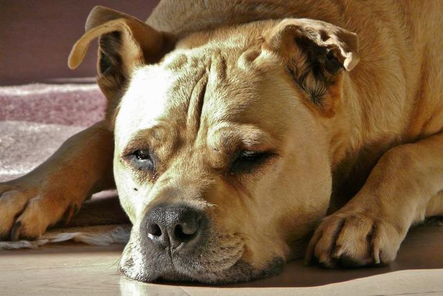 Dog hundeportrait beige, animals.