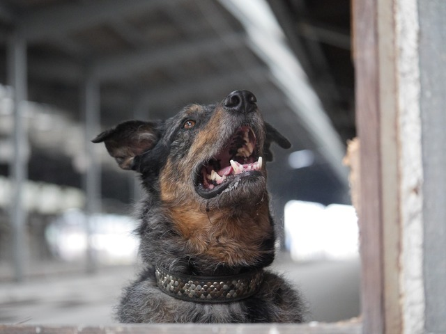 Dog hybrid male, animals.