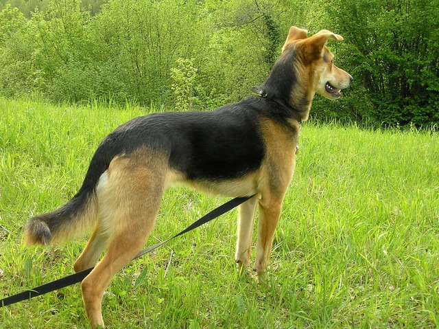 Dog hybrid pancho, animals.