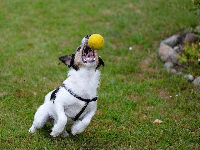 Dog hybrid play, animals.
