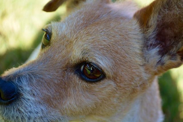 Dog jack russell, animals.