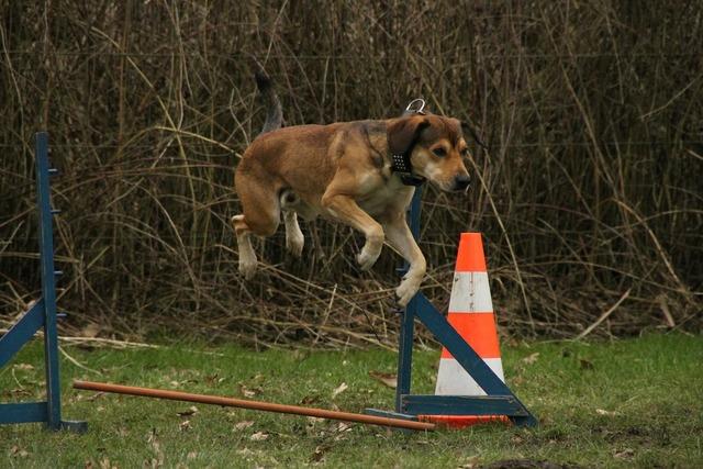 Dog jump exercise, animals.