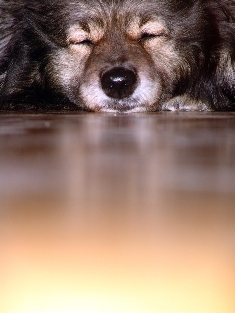 Dog keeshond snout, animals.