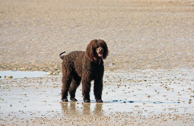 Dog labradoodle brown, animals.