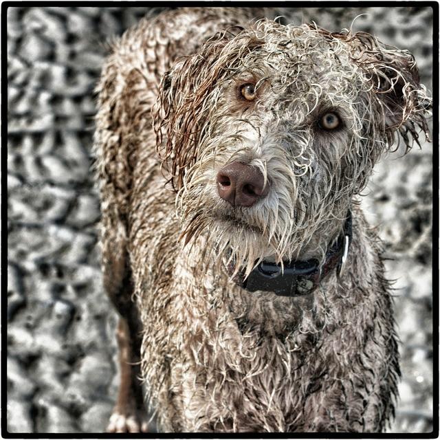 Dog labradoodle dogluvs, animals.