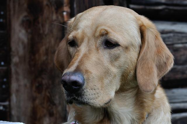 Dog labrador head, animals.