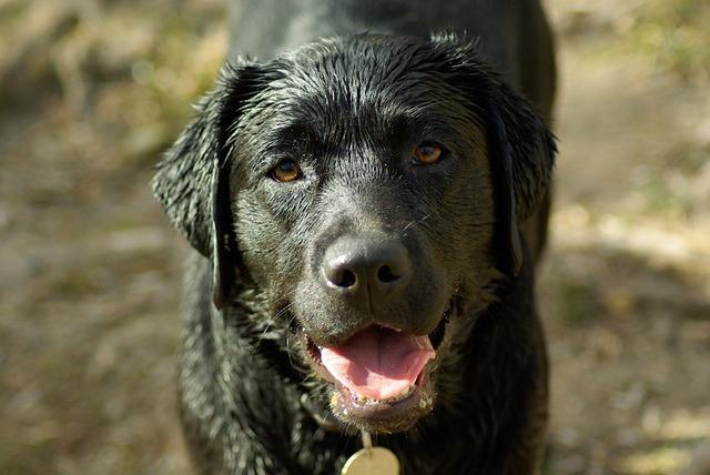 Dog labrador language, animals.