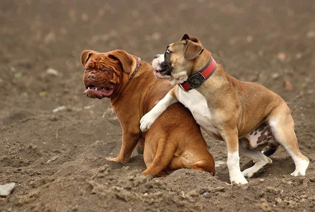 Dog large dogue de bordeaux, animals.