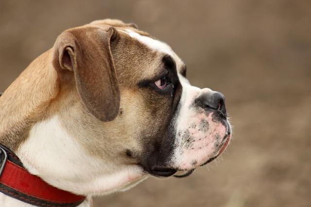 Dog large moloss, animals.
