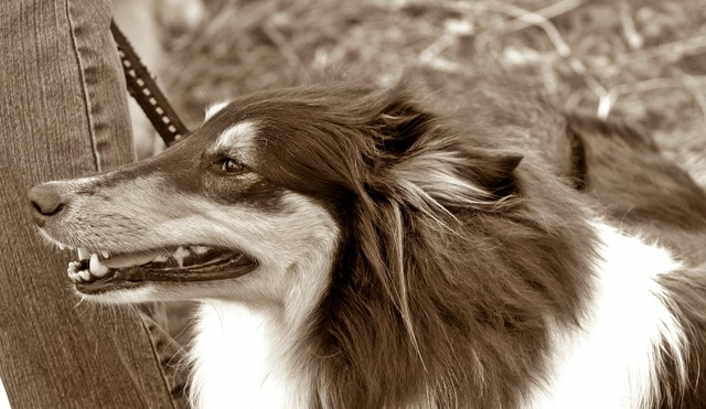 Dog long haired collie tricolor, animals.