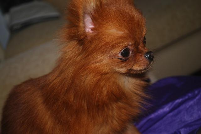 Dog miniature breed, animals.