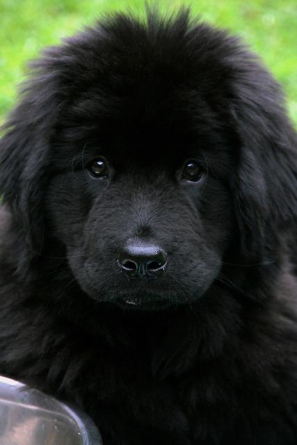 Dog newfoundland pet, animals.