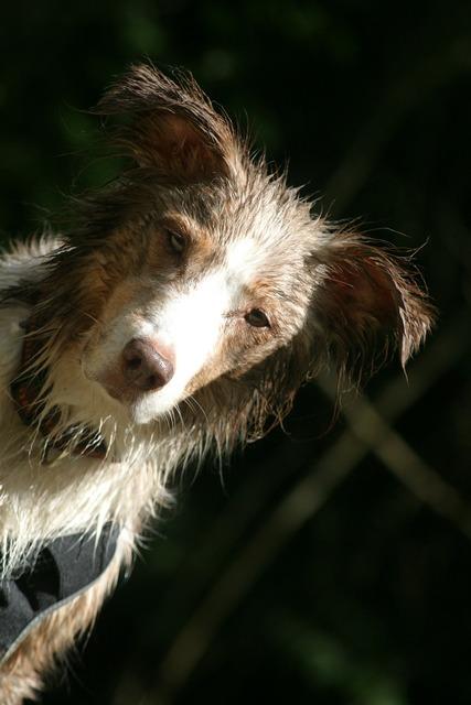 Dog pet australian shepherd, animals.