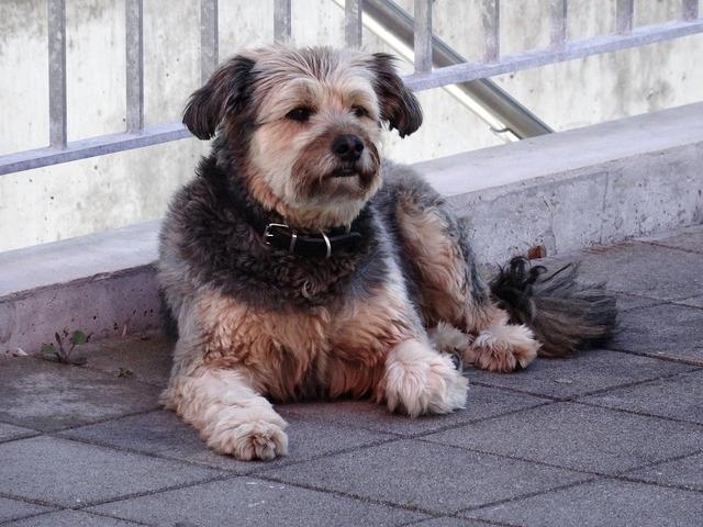 Dog pet scrubby, animals.