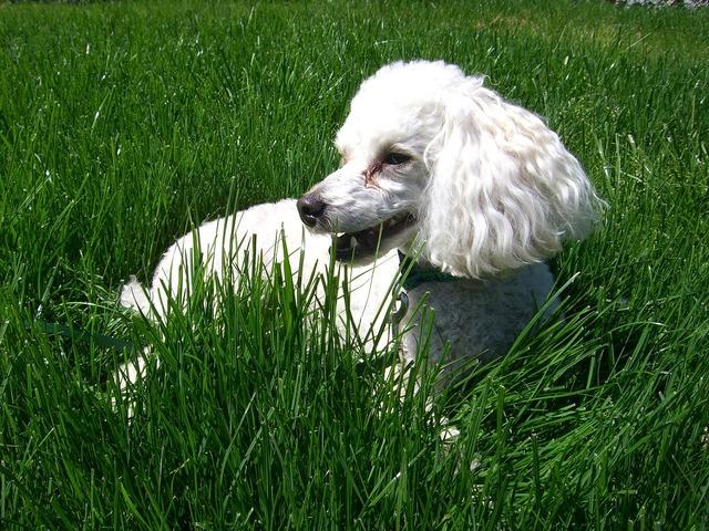 Dog poodle canine, animals.